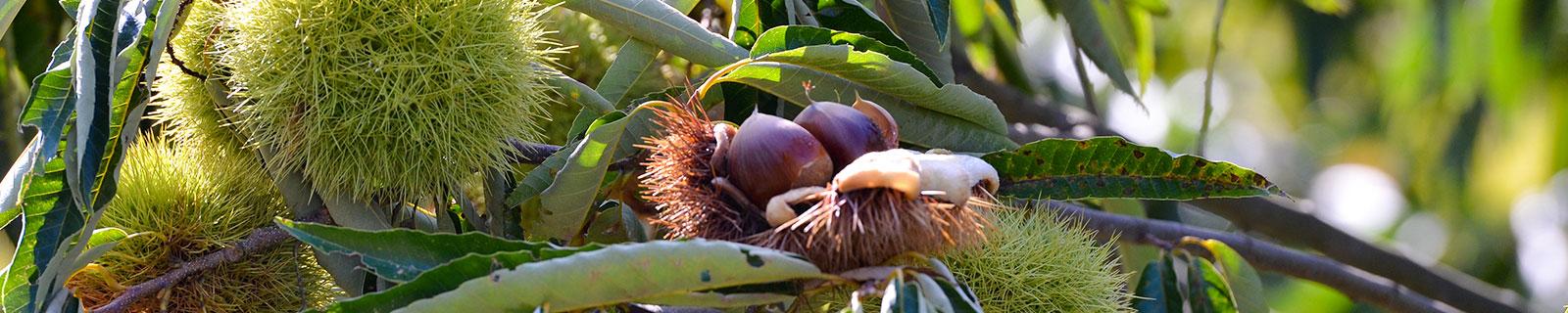 Ganne chestnut